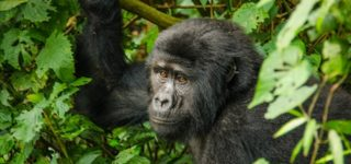 4 Days Gorilla Trek-Bwindi Impenetrable Forest National Park