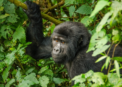 4 Days Gorilla Trek