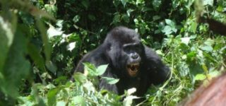 Rwanda Gorilla Tracking Permits-Bwindi Impenetrable Forest National Park
