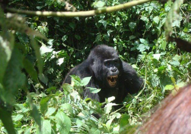 Rwanda Gorilla Tracking Permits
