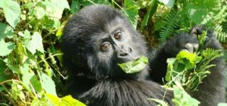 5 Days Gorilla & Wildlife Safari Uganda-Bwindi Impenetrable Forest National Park