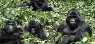 Gorillas Live in Families