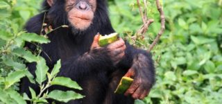 5 Days Chimpanzee-Bwindi Impenetrable Forest National Park