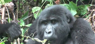 How Gorillas adapt to their Environment-Bwindi Impenetrable Forest National Park