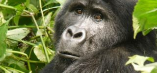 Gorillas types-Bwindi Impenetrable Forest National Park