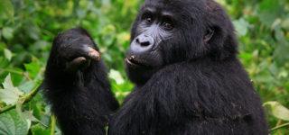 Uganda Gorilla Tracking Permits