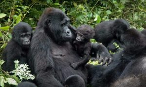 Busingye-Gorilla-Family