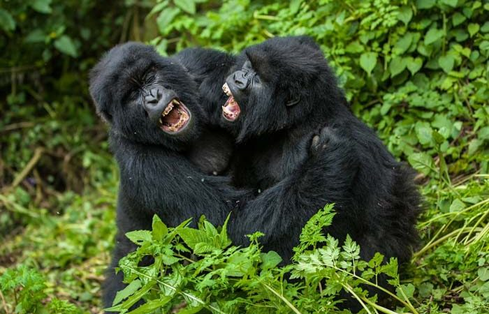 Uganda Gorilla Habituation