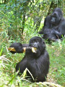 kyaguriyo gorilla family