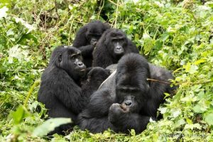 nkuringo-gorilla-group