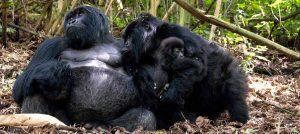 nshongi-gorilla-family