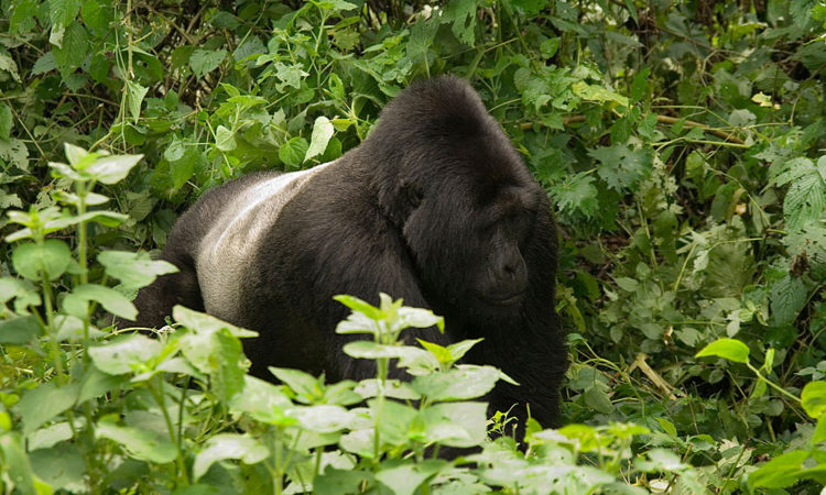 Silverbacks in Bwindi