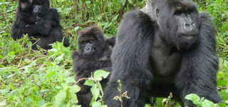 Tips for Mountain Gorilla Tracking