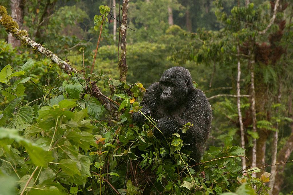 habiyanja gorilla family