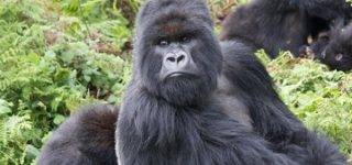 Busingye Gorilla Group