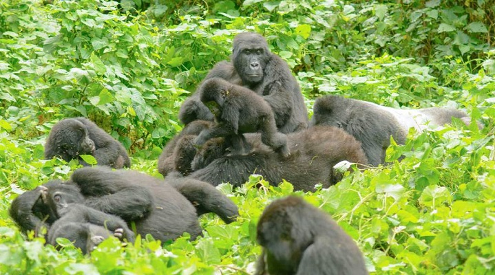 Habinyanja Gorilla Group