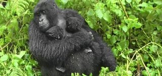 Hirwa Gorilla Group