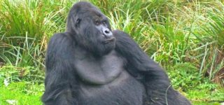 Karisimbi Gorilla Group