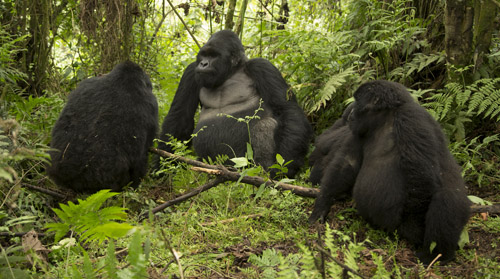 Kwitonda Gorilla Group