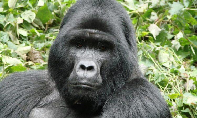 Kyaguriro Gorilla Group
