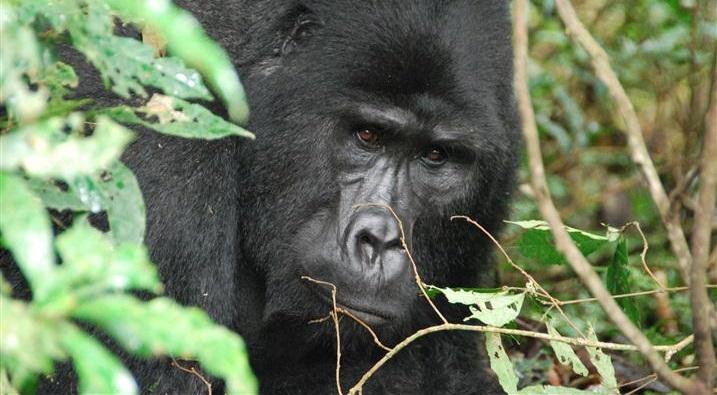 Mishaya Gorilla Group
