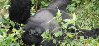 Nyakagezi Gorilla Group