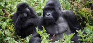 Agashya Gorilla Group