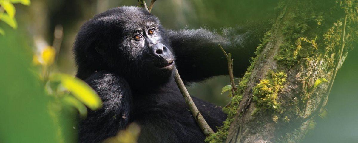 Nahongi gorilla family
