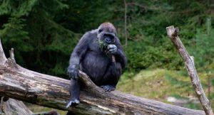 Gorilla Adapt