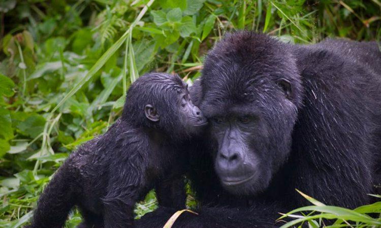largest Gorilla Specie