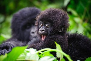 Mountain-Gorilla-Baby