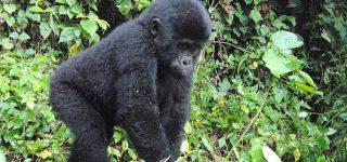 Mountain Gorilla Conservation in Uganda