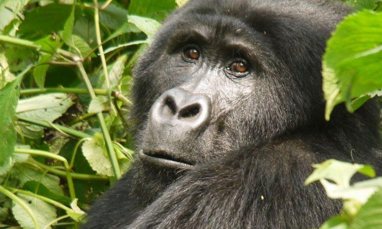 What Mountain Gorillas Eat