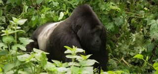 Why do Silverbacks fight