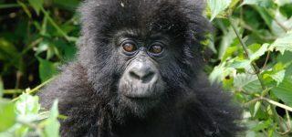 Discounted Gorilla Permits In Uganda