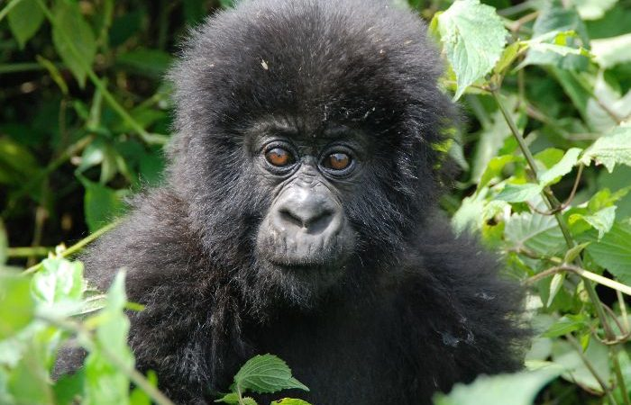 Discounted Gorilla Permits In Uganda