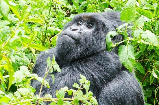 Gorilla Trekking Safari in Uganda 2021-2022
