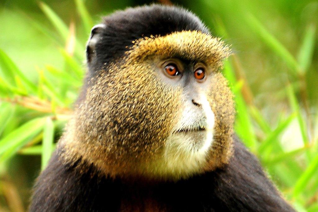 Golden monkey trekking in Mgahinga