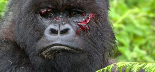 Are gorillas endangered