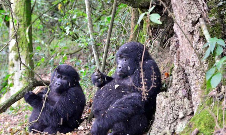 Bwindi Impenetrable National Park & Volcanoes National Park