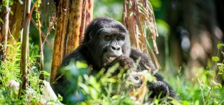 Cost of gorilla trekking in uganda
