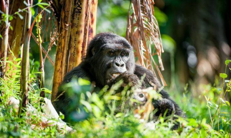 Cost of gorilla trekking in uganda