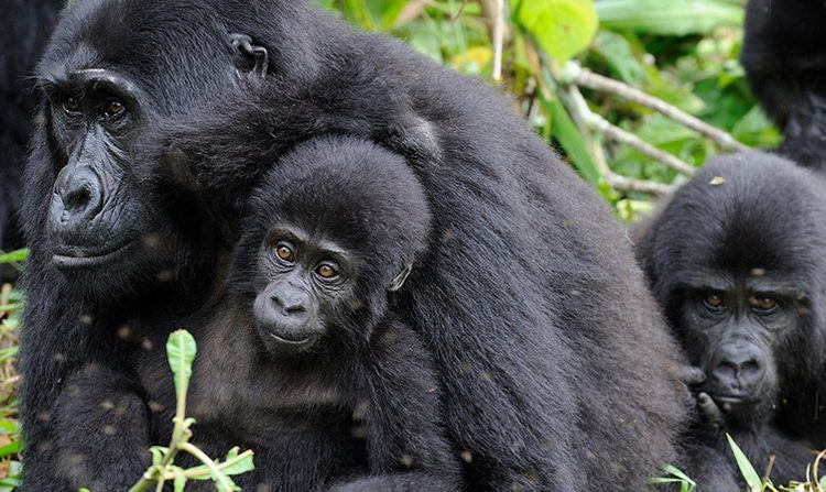 Gorilla park Uganda