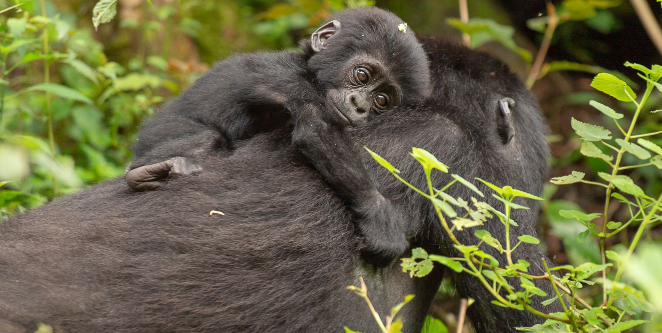 Mother gorilla carrying  infant - bwindi forest national park