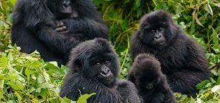 Hirwa Gorilla Family Returned to Rwanda