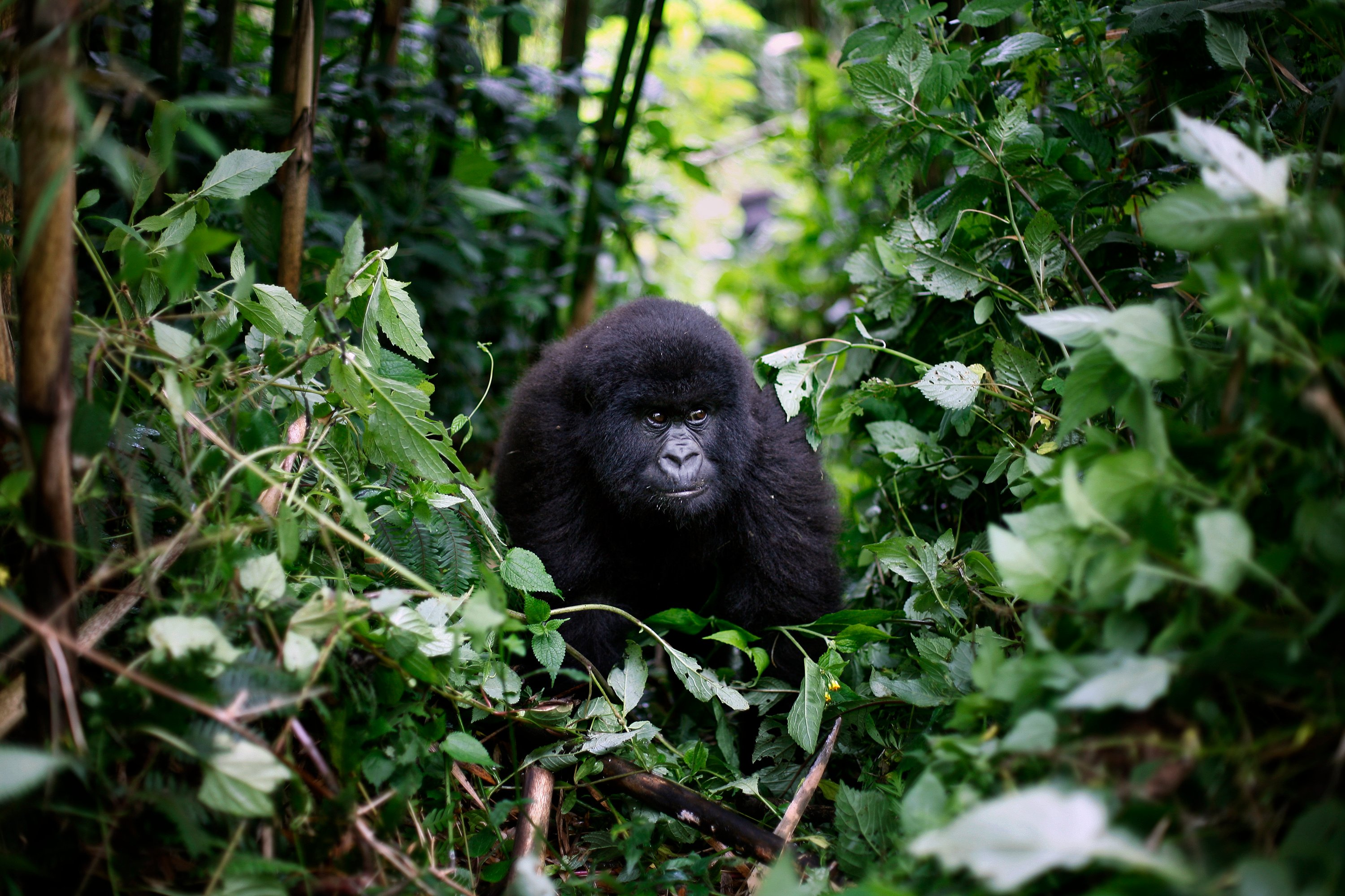 Protecting Gorillas and Chimpanzees from Covid-19
