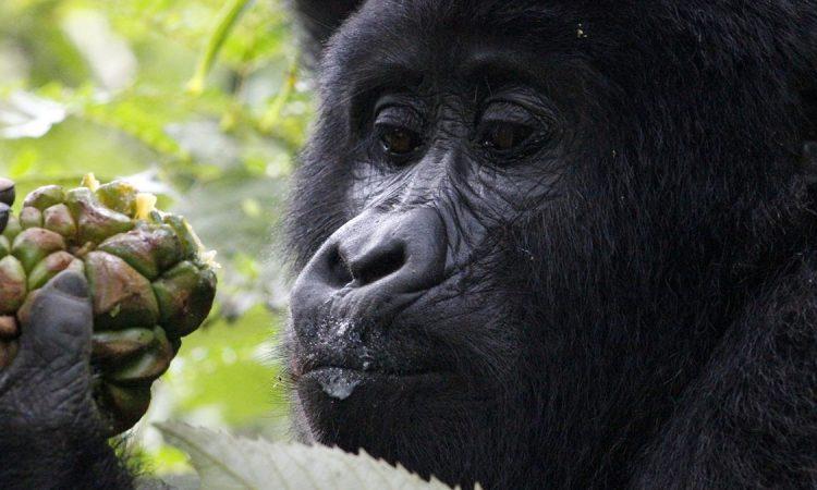 New Gorilla Additions in Bwindi