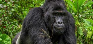 Rafiki The Beloved Gorilla killed by Poachers