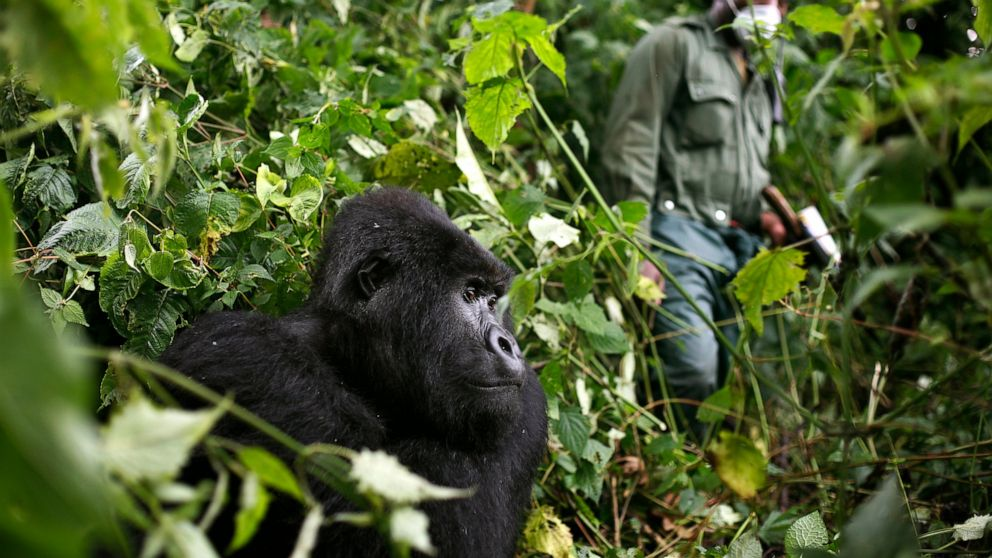 Rafiki The Beloved Gorilla killed by Poachers