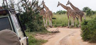 Savannah Parks Re-Open in Uganda